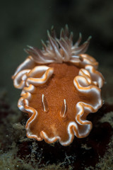 Glossodoris nudibranch