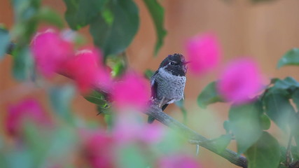 male hummingbird perches, goes after female, returns