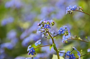Kaukasusvergissmeinnicht - Brunnera macrophylla 06