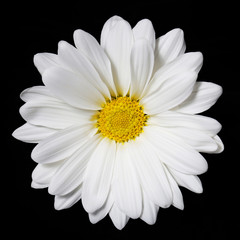 Chamomile flower over black background. Daisy.