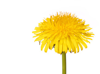 Yellow Dandelion Flower Isolated on White. Taraxacum officinale.
