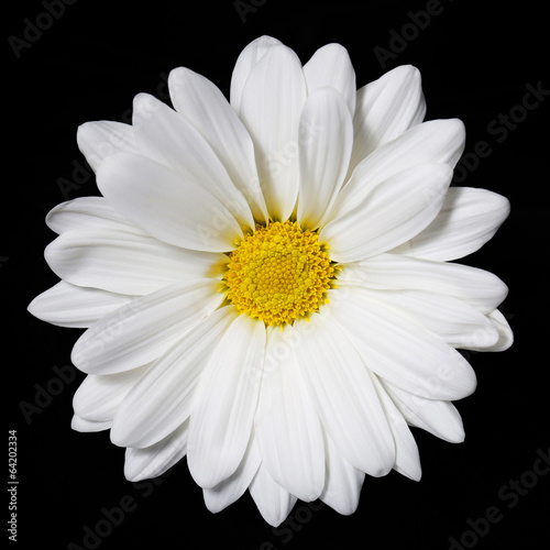 Keuken foto achterwand Lente Chamomile flower over black background. Daisy.