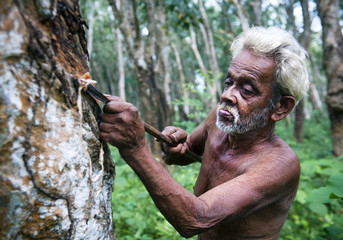 Senior Man Tapping Rubber Tree