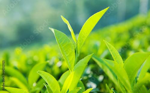 Zielone liście na Sri Lance