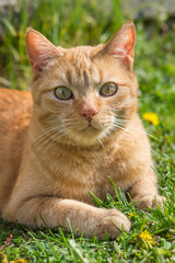 Cute red-haired cat lying on the grass