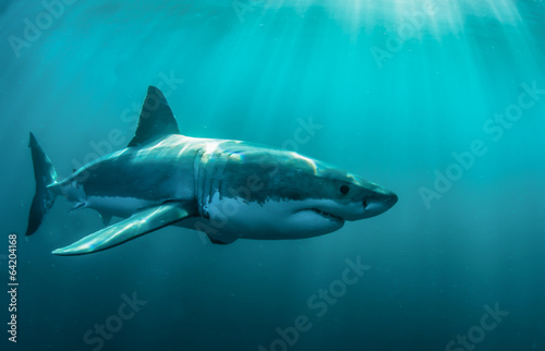 Tuinposter Duiken Great white shark underwater.