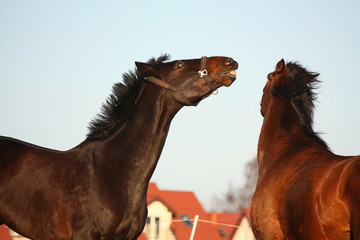 Two brown horses playfully fighting