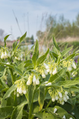 White flowering Common Comfrey
