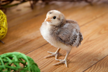 little chick on the floor