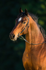 Bay horse portrait on green background, outdoor.