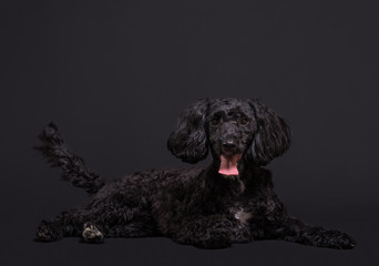 Cockapoo spaniel and poodle cross hybrid