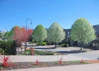 White poplar trees in Canberra, Australia