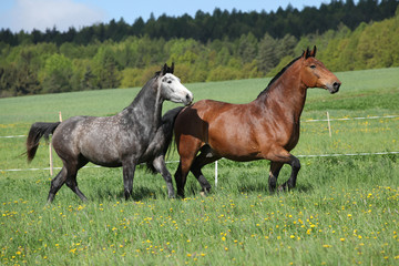 Two amazing horses running in fresh grass