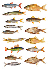 fifteen isolated freshwater fishes collection