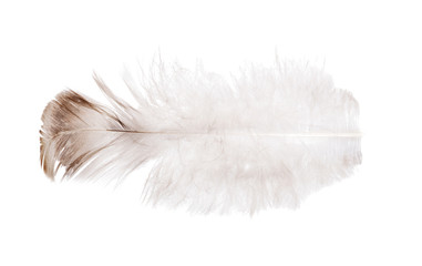 isolated light feather with brown edge