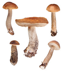 set of five  birch boletes on white