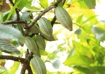 cacao bean grow on tree