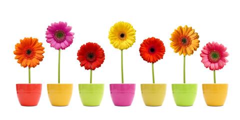 Gerberas im Blumentopf