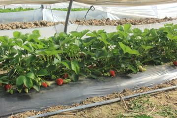 Culture de fraises