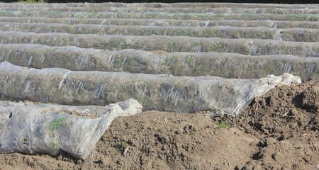Terre d'asperges