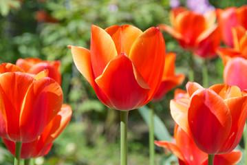 Tulipani arancioni