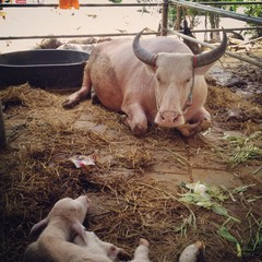 albino carabao sit in stable