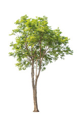Pterocarpus indicus, tropical tree isolated on white background