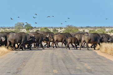 Buffalos crossing road in Kruger national park, South Africa