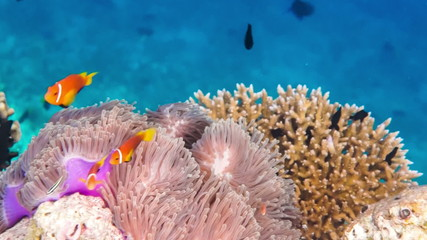 Topical saltwater fish ,clownfish - Coral reef in the Maldives,