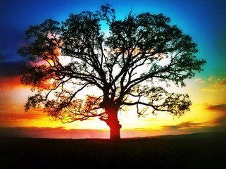 Big tree silhouette, sunset shtot