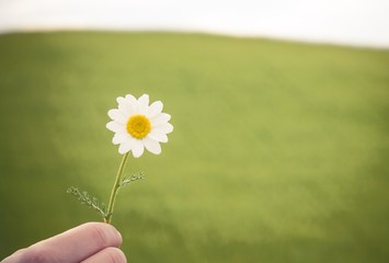 camomile flower in hand