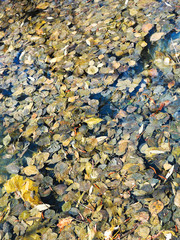 fallen leaves in water of forest lake