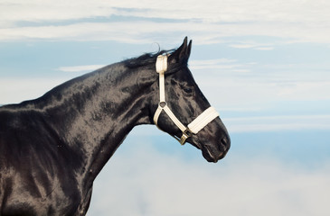 Portrait of  beautiful black stallion at blue sky background