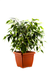 ficus tree in a brown pot isolated on white