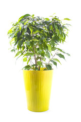 ficus tree in a bright ceramic pot isolated on white