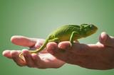 Chameleon in some hands