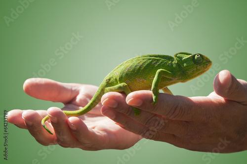 Foto op Plexiglas Kameleon Chameleon in some hands