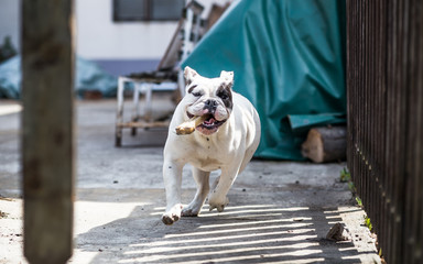 Bulldog running with bone