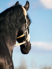 Portrait of  beautiful black breed stallion. close up