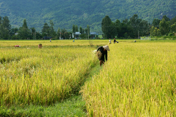 Farmer working on the reap paddy field
