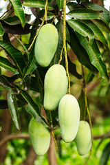 Close up of mangoes