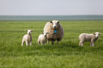 Sheep with three lambs in the field