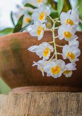 Dendrobium farmeri Paxton.