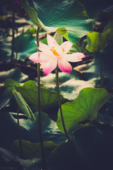 glowing light lotus, brightness among darkness, Symbol of life i