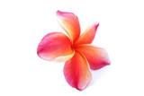 Fototapety Frangipani (plumeria) flowers,tropical flower