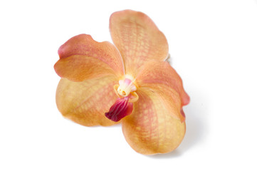orange orchid (vanda) close up isolated on white background