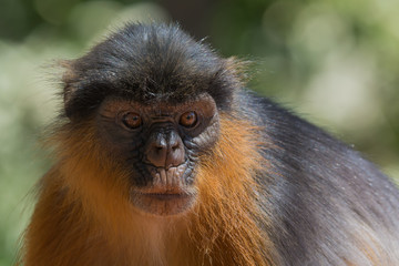 Portrait of a Western Red Colobus Monkey