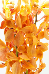 orange orchid isolated on white background