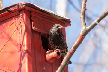 spring starling
