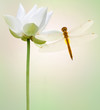 libellule sur fleur blanche de lotus